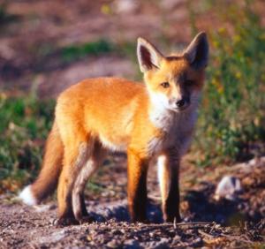 Bengal fox facts Nature with Sara Bookosmia
