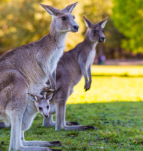 Place review by kids with Sara kangaroo Australia caversham wildlife park Bookosmia