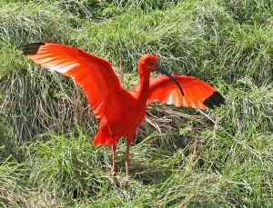 Scarlet ibis fun facts for kids Nature with Sara Bookosmia