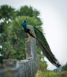 The lure of the extraordinary peacock