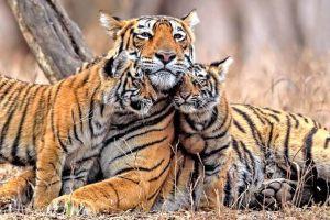 bengal tiger poem kids