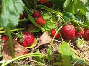 Weekend getaway - Visiting a strawberry farm